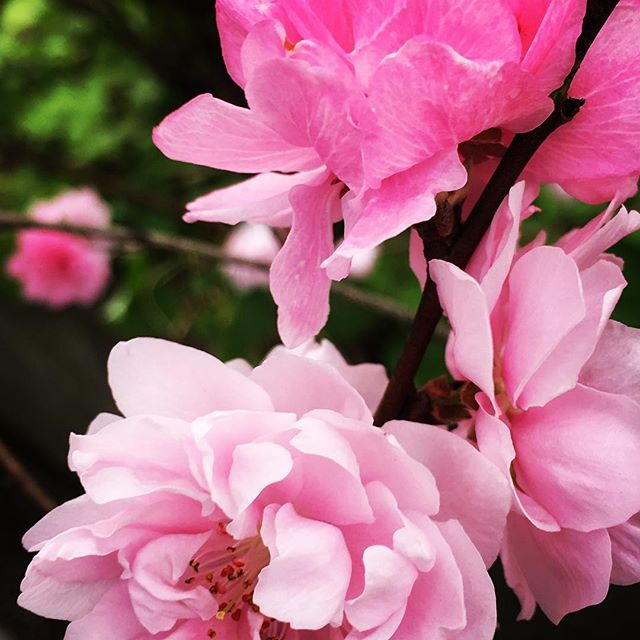 【ぐもにん2717】答えは自分の中だけに。今日も「笑顔の選択」と。#goodmorning #flowers #pink #beautiful #pretty #photography #photo #iphonephotography #おはよう