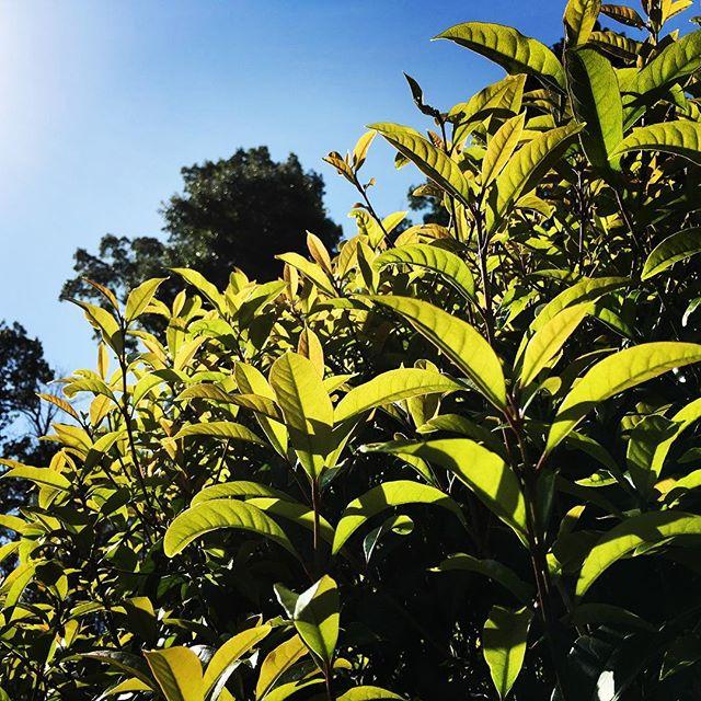 【ぐもにん2725】感じるままにまっすぐに。純度高めて。今日も「笑顔の選択」と。#goodmorning #beautifulsky #bluesky #leaves #beautiful #blue #sky #green #photography #photo #iphonephotography #おはよう