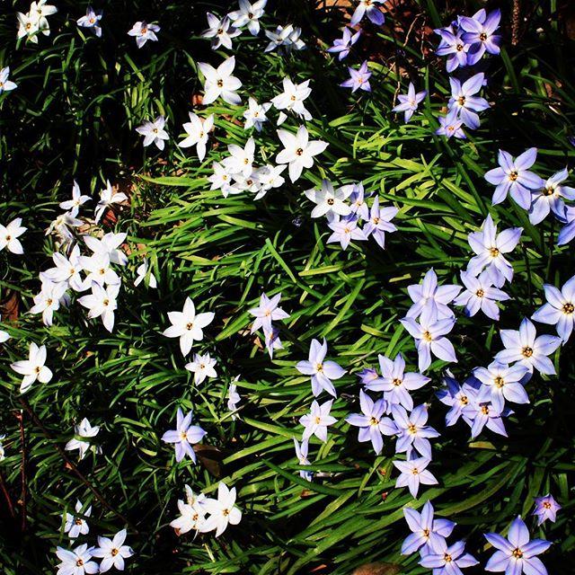 【ぐもにん2720】軽やかにとことんどんどん。今日も「笑顔の選択」と。#goodmorning #flowers #greens #beautiful #naturephotography #photography #photo #iphonephotography #おはよう #星みたいな花