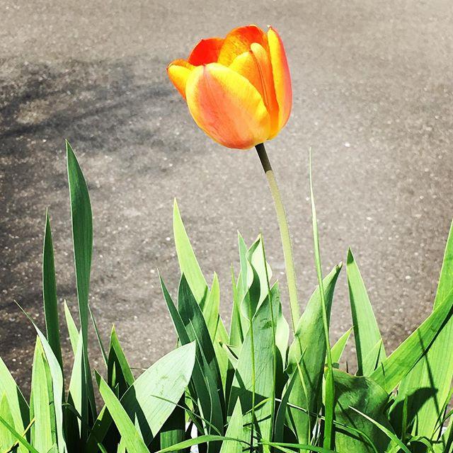【ぐもにん2719】頭の中のノイズを鎮めて心の音を聞けるように。今日も「笑顔の選択」と。#goodmorning #flower #tulip #orange #yellow #green #photography #photo #iphonephotography #おはよう