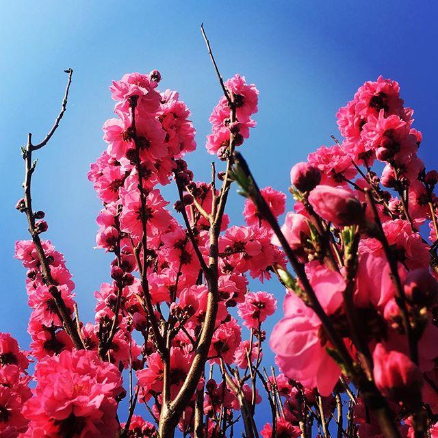 【ぐもにん2722】心柔らかく、のびのび自由。今日も「笑顔の選択」と。#goodmorning #flowers #pink #beautiful #bluesky #blue #sky #photography #photo #iphonephotography #おはよう