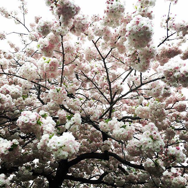 【ぐもにん2727】今だけを行きている。今に全てがある。今日も「笑顔の選択」と。#goodmorning #beautiful #flowers #white #cherryblossom #sakura #さくら #photography #photo #iphonephotography #おはよう